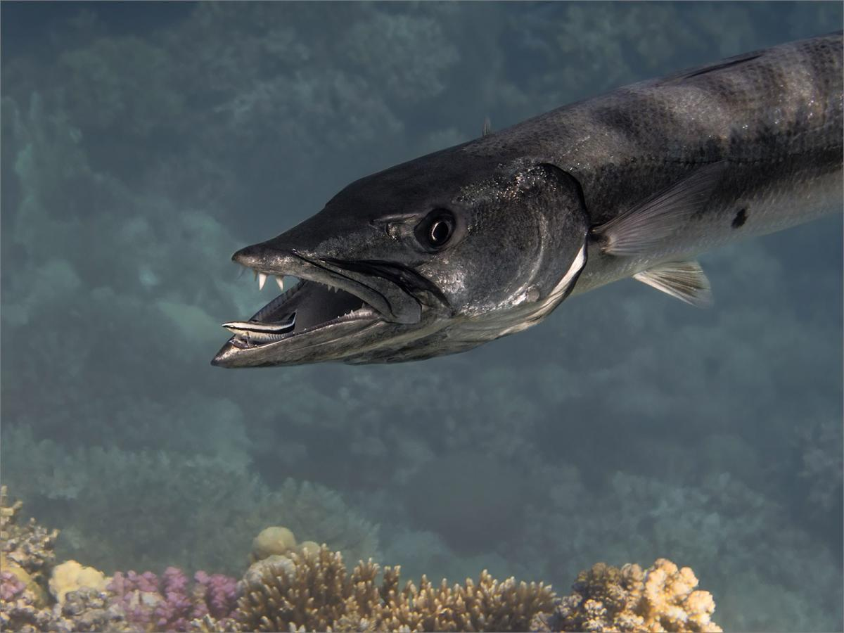 PDI Nature FIAP Ribbon Great Barracuda with Cleaner Wrasse Red Sea Alison Middleton England