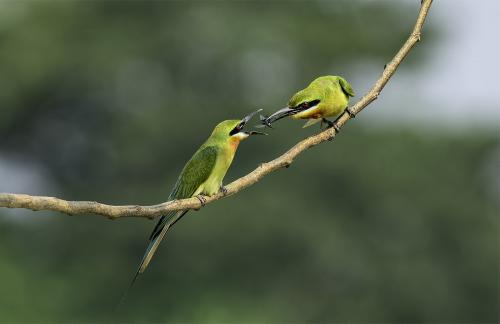 PDI Nature FIAP Ribbon Green Bee Eater Offering2 9348 Dilip Desarker India