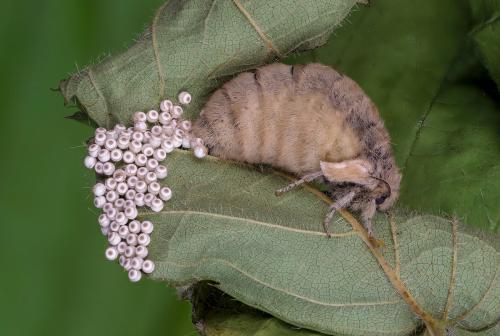 PDI Nature FIAP Ribbon Vapourer Moth (Flightless) Ovipositing Trevor Davenport England