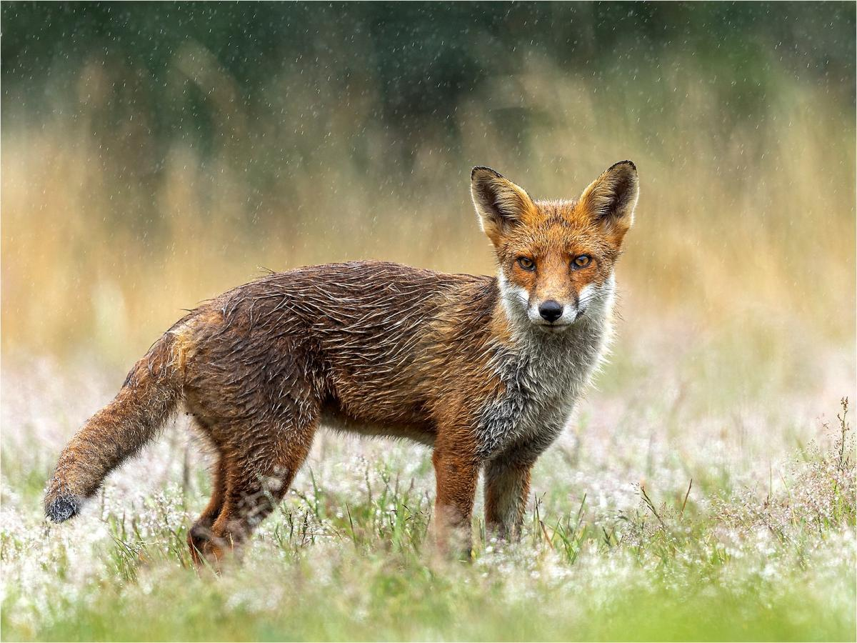 PDI Nature FIAP Silver Red Fox in Rainfall Julie Hall England