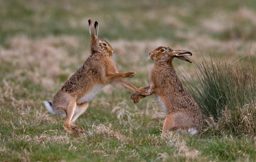 PDI Nature MCPF Medal Hare Interaction Mary Pears England