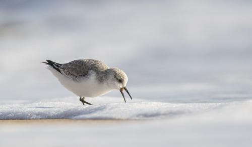 PDI Nature MCPF Ribbon Feeding sanderling Trevor Clifford England