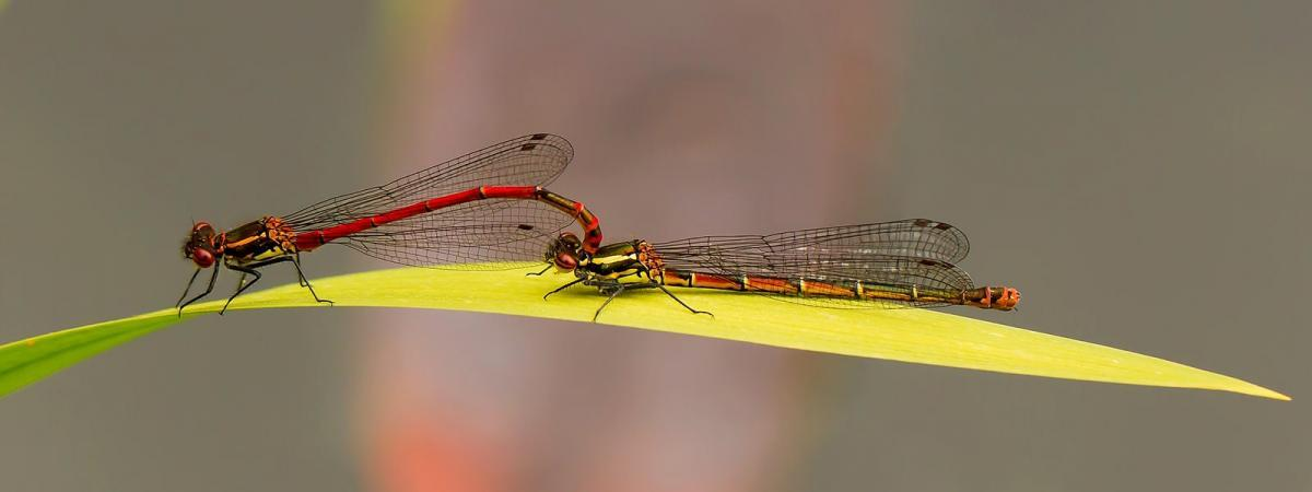 PDI Nature MCPF Ribbon Mating Large Red Damsels Roger Pendell England3