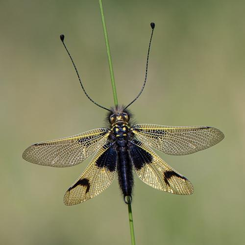 PDI Nature PAGB Gold Owl Fly Ann Healey England