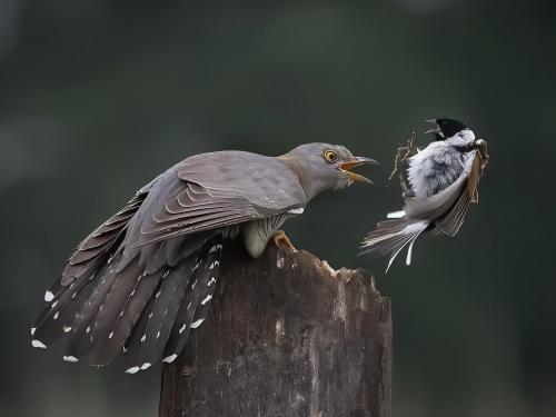 PDI Nature PAGB Ribbon Male Cuckoo V Reed Bunting Mary Gillian Fish England