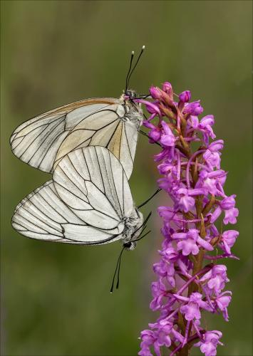 PDI Nature PAGB Ribbon Mating Black-veined Whites on Fragrant Orchid Lesley Simpson Scotland