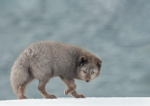 PDI Nature PSA Bronze Arctic Fox on the Move Richard Kay England