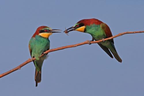 PDI Nature PSA Ribbon Bee-eater Food Pass 6109 Paul Keene England
