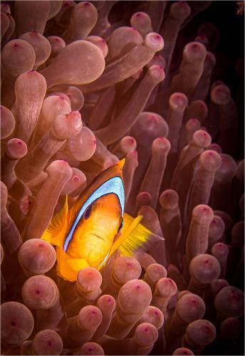 PDI Nature PSA Ribbon Clownfish in a Red Sea Anemone Jay Hallsworth England