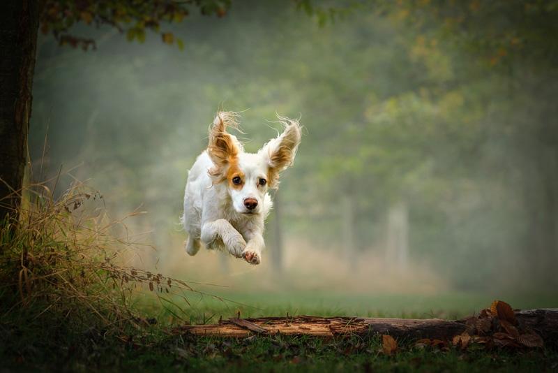 MCPF Ribbon - Jumping Spaniel - Helen Otton LRPS BPE2 - England