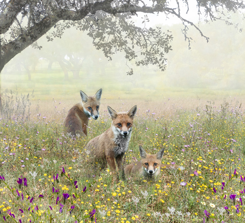 PAGB Gold - Foxes in a Field - Lynda MudleSmall ARPS AFIAP - England