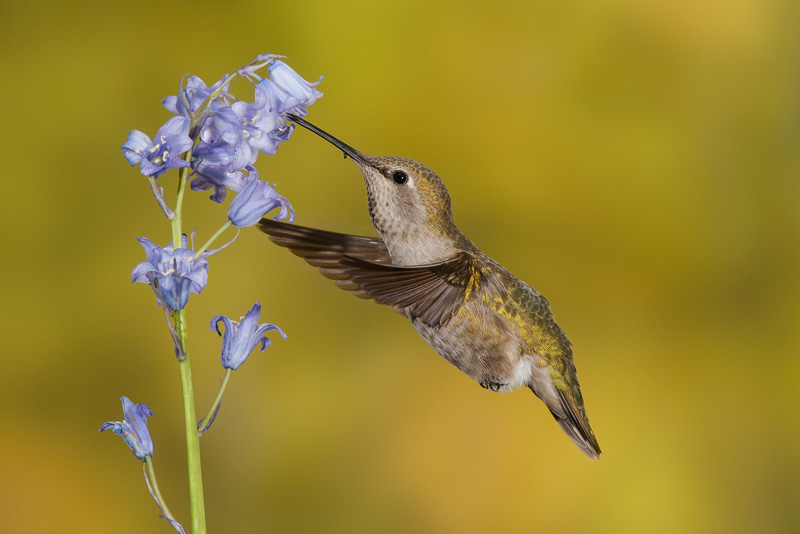 David Gibbins MCPF Medal - Anna's Hummingbird at Bluebell - Mike Wooding - Canada