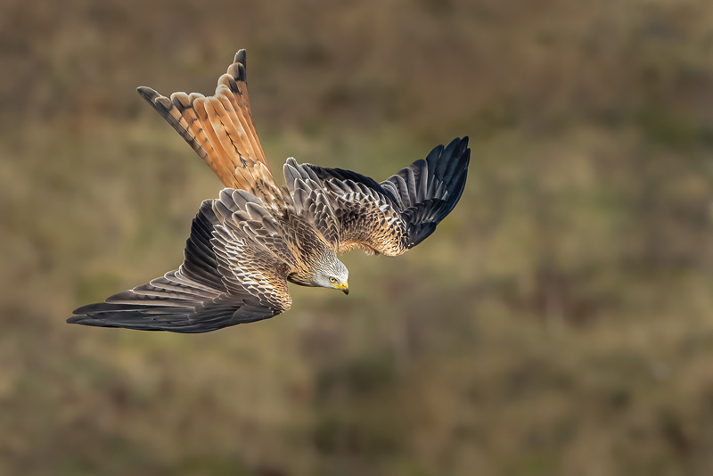 FIAP Gold - Red Kite Stoop - Dave Bowen MPAGB EFIAP FBPE - England