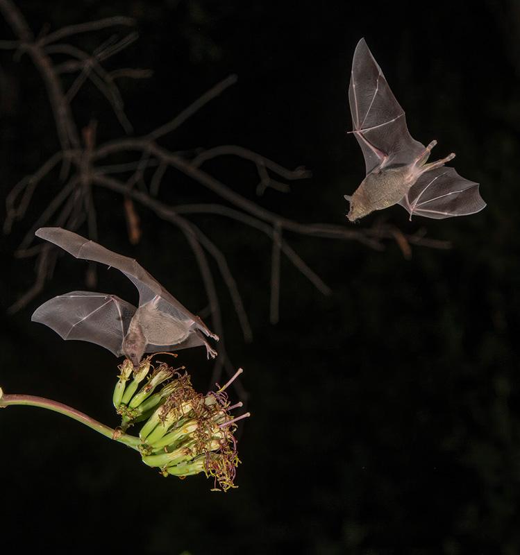 FIAP Ribbon - 2 Nectar Bats - J.R. Schnelzer AFIAP EPSA APSA - United States