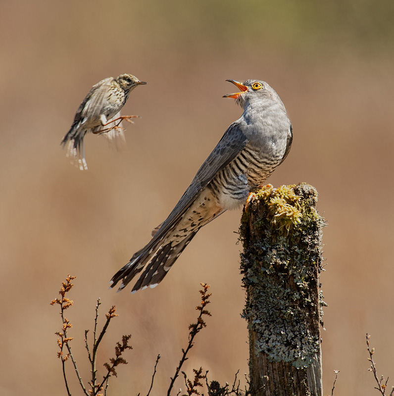 FIAP Ribbon - Cuckoo with Meadow Pipit - Philippa Wheatcroft DPAGB - England