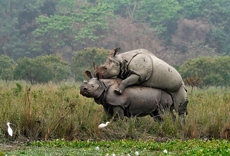 FIAP Ribbon - Rhino Mating Again 2 - Arkadeep Das QPSA - India