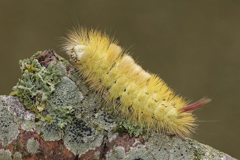 Pale Tussock Moth Caterpillar