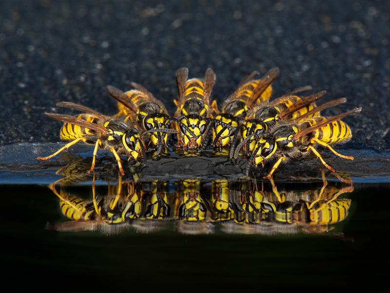 GPU Ribbon - Wasps Drinking - Robert Millin MFIAP EFIAPd2 MPSA FBPE - England