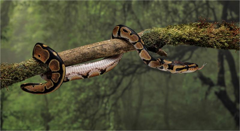 GPU Silver - Royal Python Snake - Beverly Hayes LRPS DPAGB BPE4 - England