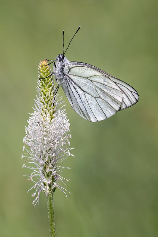 Black-veined White on Fleshy Plantain
