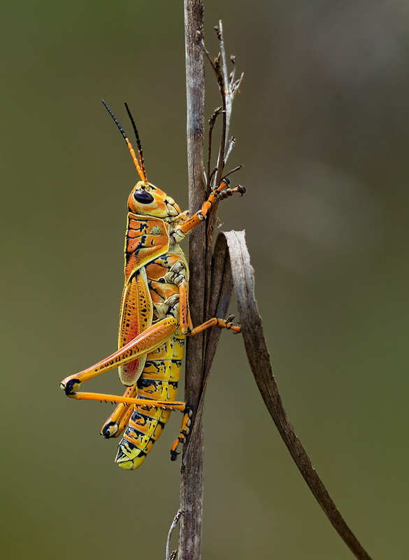 MCPF Ribbon - Eastern Lubber Grasshopper on a dry grass - Stan Maddams LRPS CPAGB BPE2 - England
