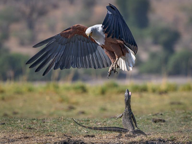 MCPF Ribbon - Fish Eagle and Monitor Lizard dispute - Robert Cooper - England