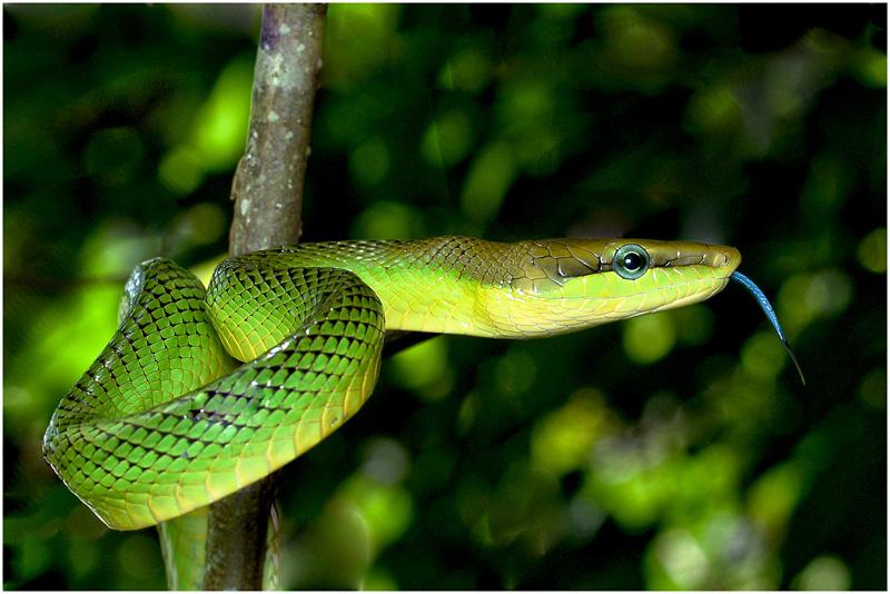 MCPF Ribbon - Rough Green Snake 02 - KimPheng Sim EPSA - Singapore