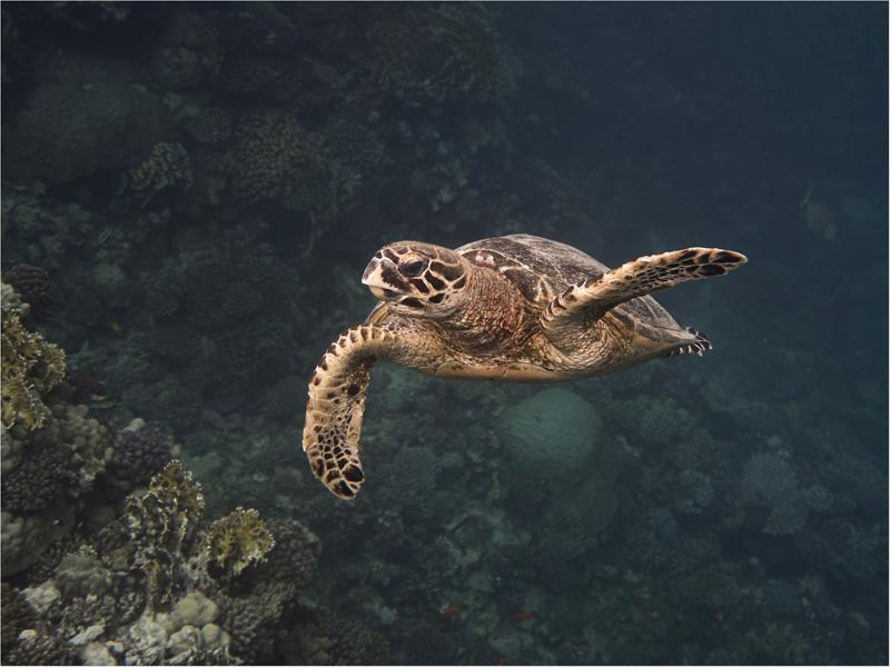 PAGB Ribbon - Hawksbill Turtle (Eretmochelys Imbricata) - Alison Middleton CPAGB - England