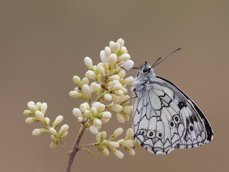 PSA Bronze - Marbled White Butterfly - Tim Downton ARPS DPAGB - England