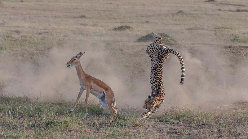 PSA Gold - Cheetah Hunting2 - Yi Liu - China