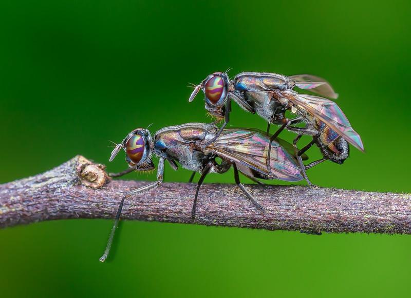 PSA Ribbon - Flies Mating 7 - Guek Cheng Lim - Malaysia