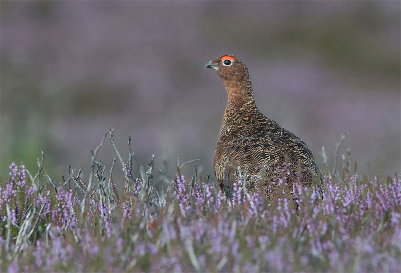 PSA Ribbon - Red Grouse on Heather - Philip Newman ARPS AFIAP BPE3 - England