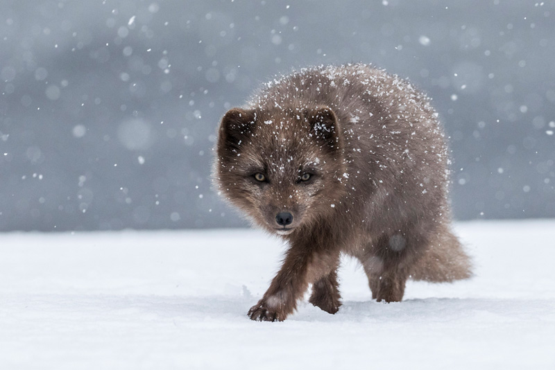 Peter Paterson MCPF Medal - Arctic Fox in Snow Storm - Tracey Lund - England