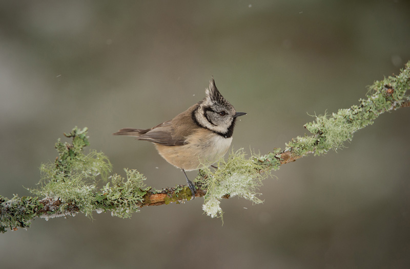 Richard Spiers MCPF Medal - Crested Tit on Lichen Twig - Philippa Wheatcroft - England
